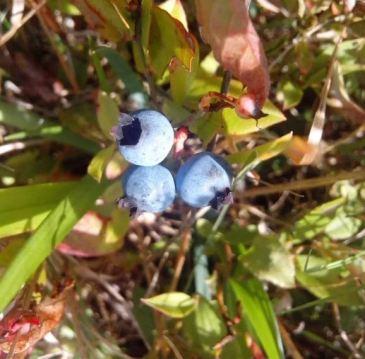 blueberry_crop